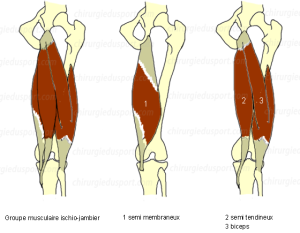 ischio-jambier_semi-tendineux_semi-membraneux_biceps
